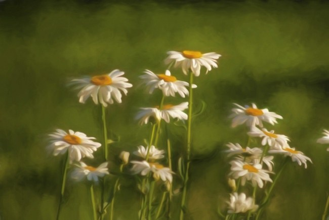 Bunched daisies