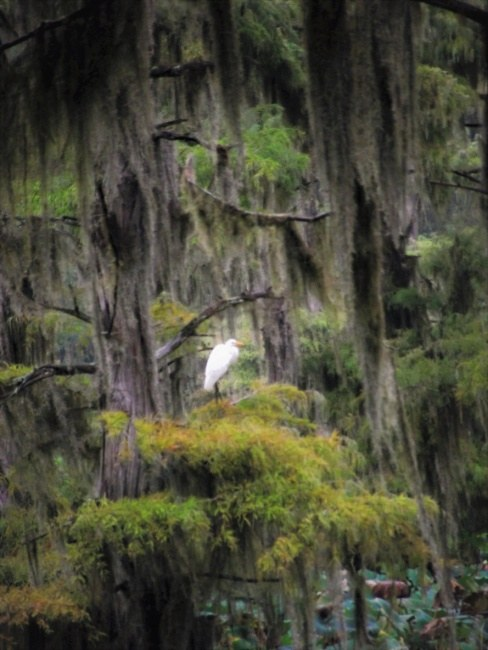 Egret in Cypress