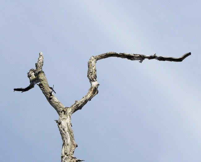 Interesting position of dead branches