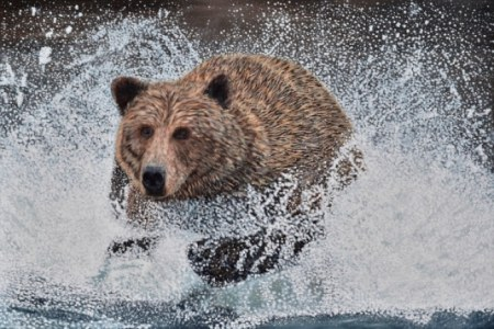 Grizzly Bear Running in the Water