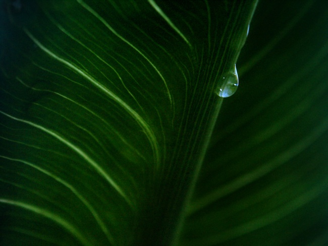 Water on a cala lily leaf