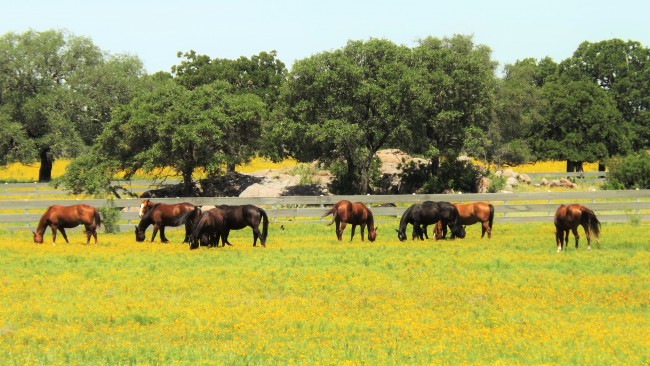 Horses in field of Coreopsis
