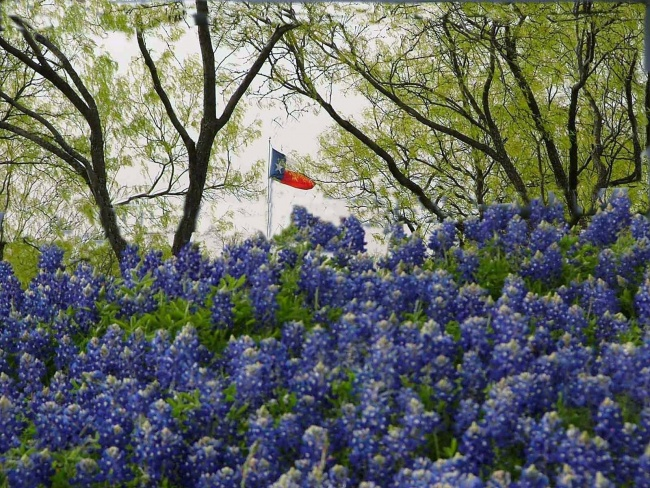 Texas Flag in Mesquites & Bluebonnets
