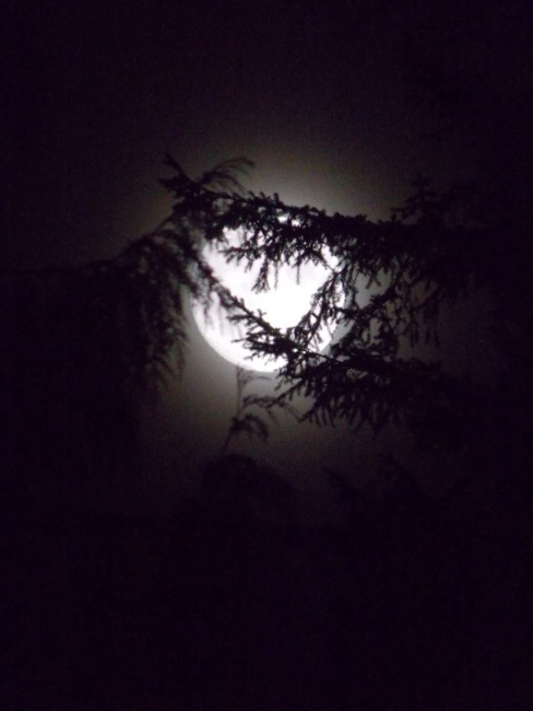 Moon behind Cedar branches