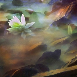 'Lily In Rocks'