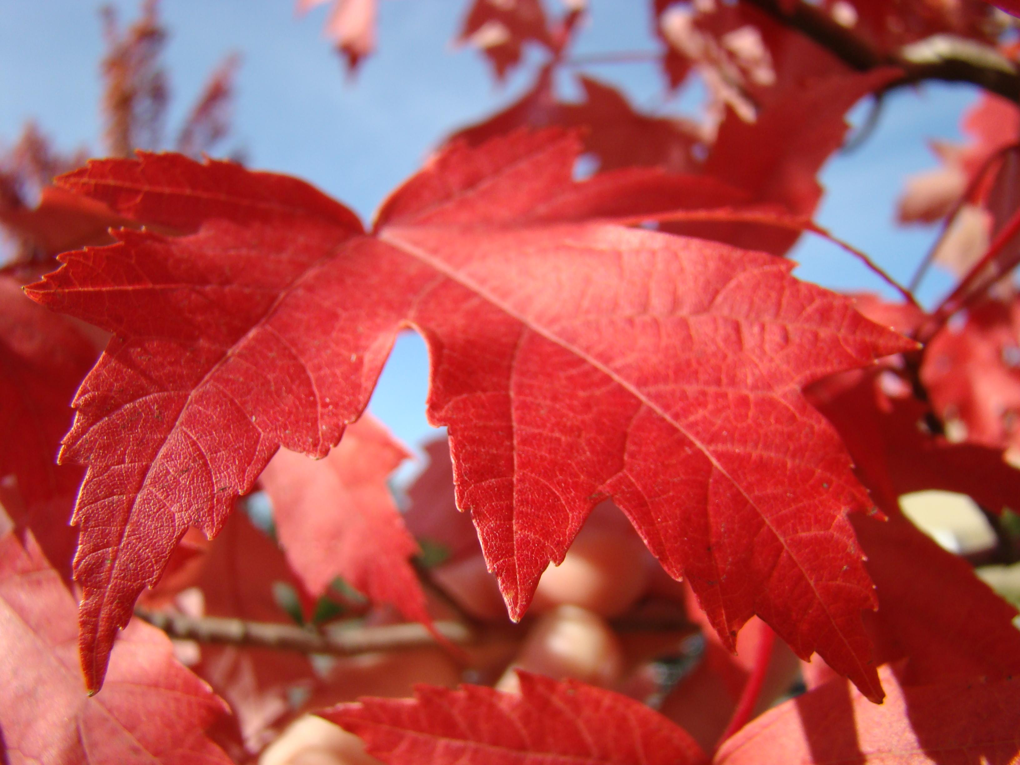 AUTUMN LEAVES Red Fall Tree Blue Sky Art Prints Baslee ...