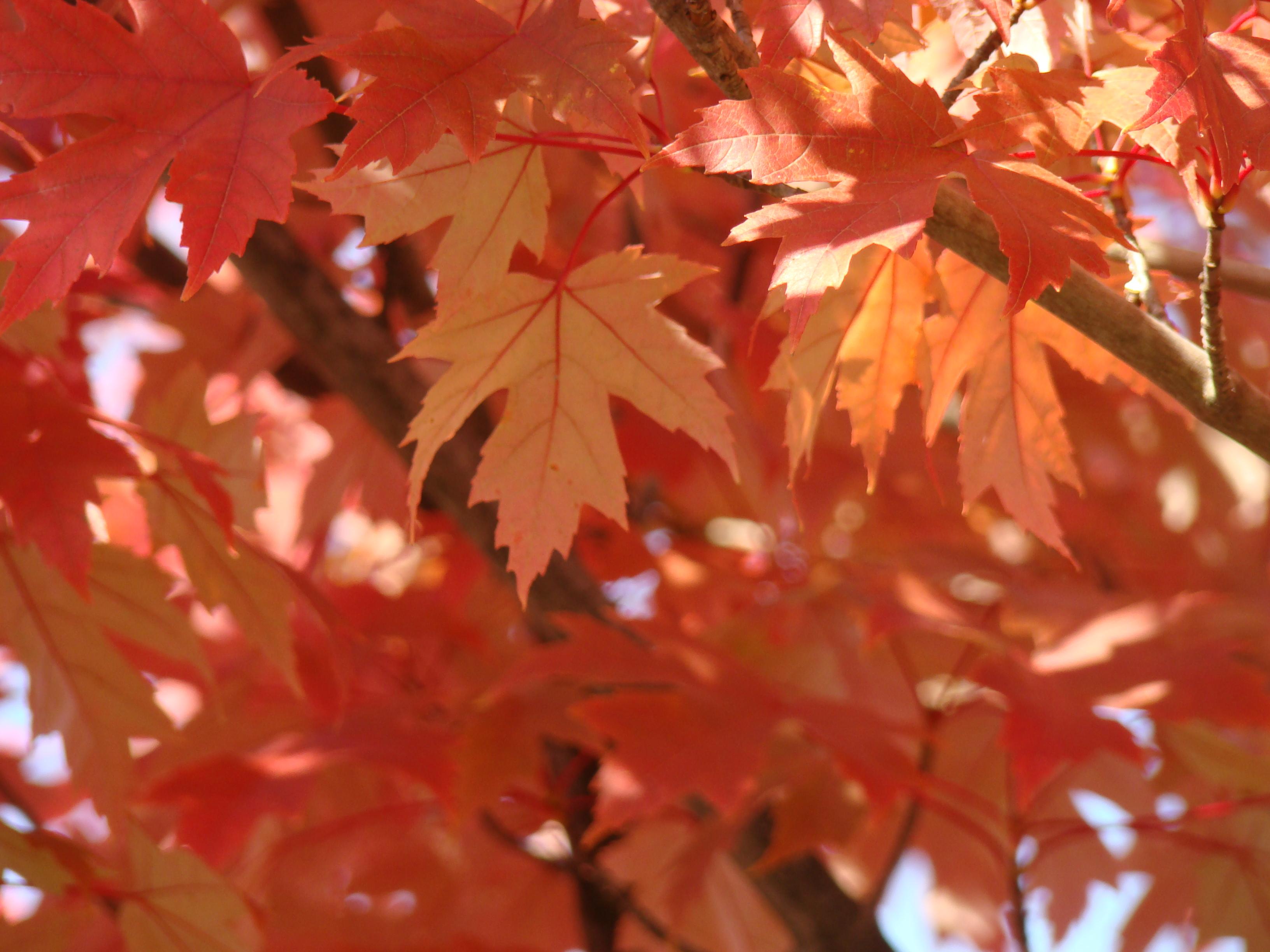 FALL TREES Art Prints Gifts Orange Autumn Leaves Baslee Trou