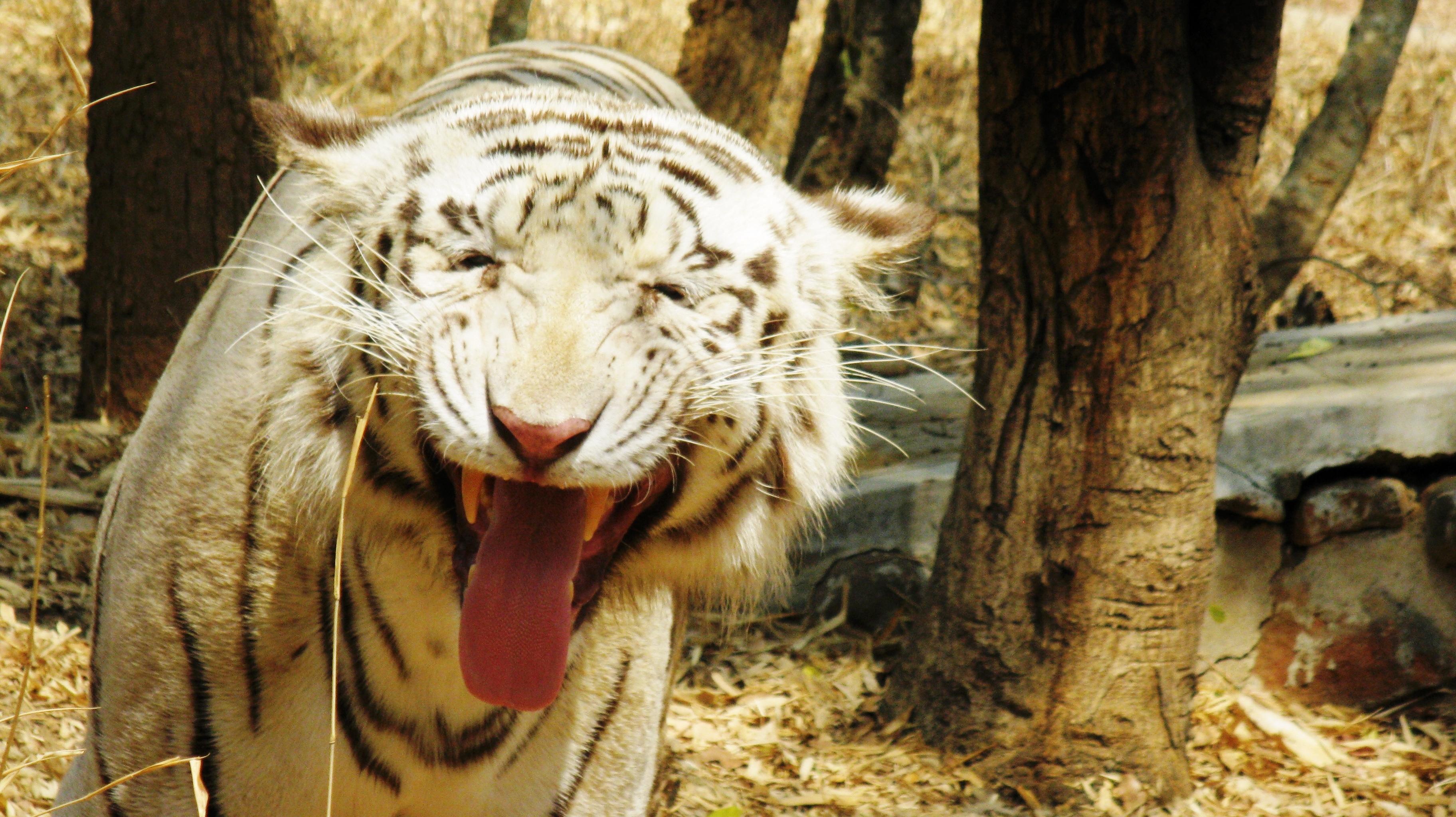 Прикольная картинка с тигром, сделать
