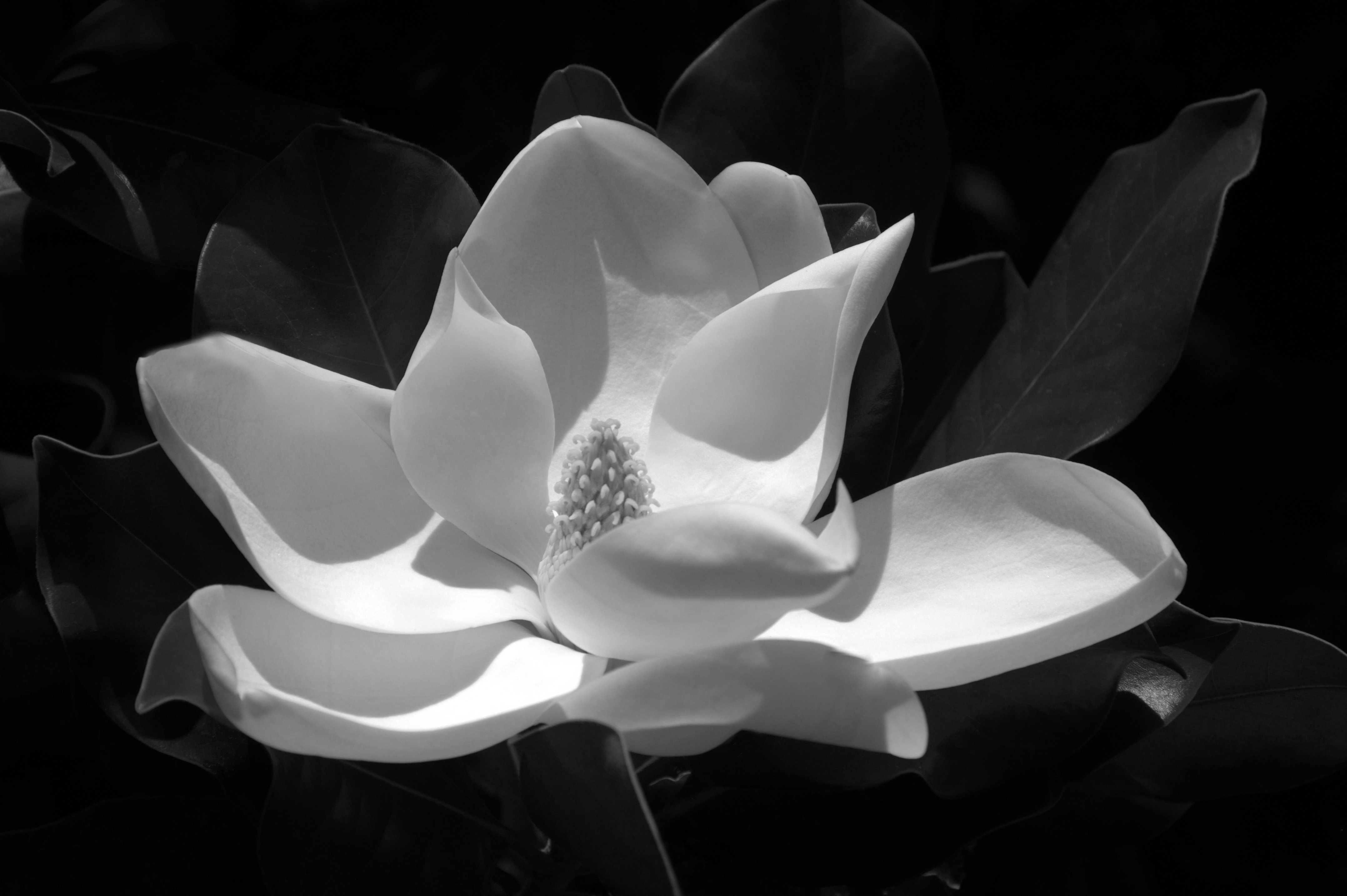 Black And White Magnolia Miracle Foundmyself