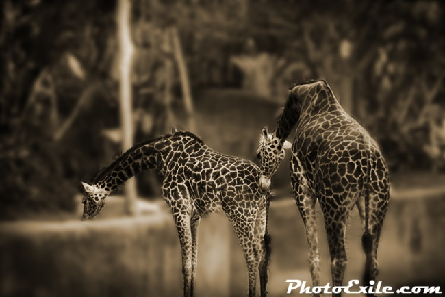 Giraffe's graze 7 kiss