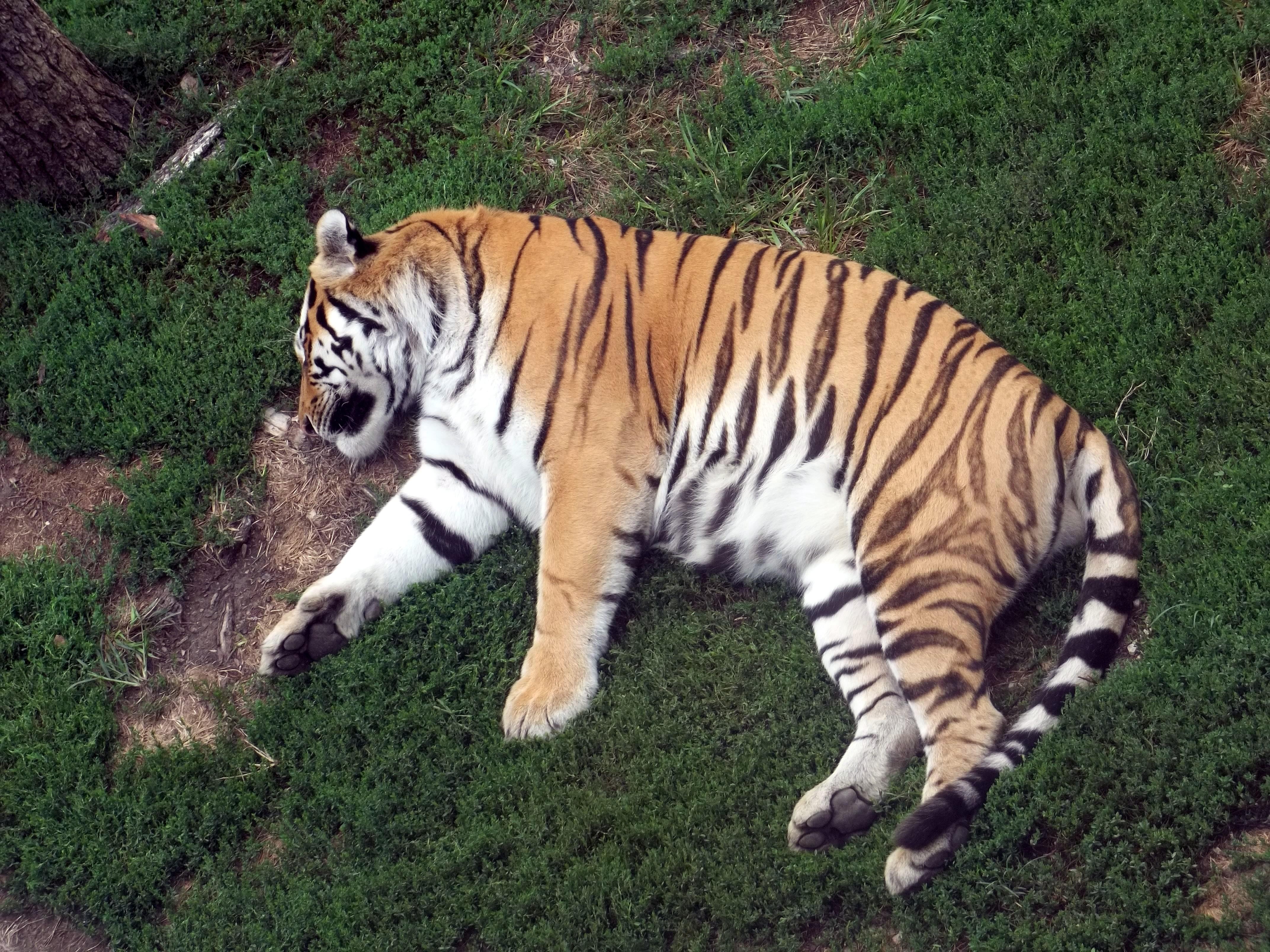 Free Stock Photo of Sleeping Tiger - Freerange Stock