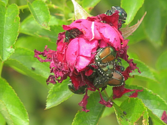 Cluster of Beetles