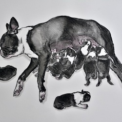 BOSTON TERRIER MATERNITY, CHARCOAL & INK